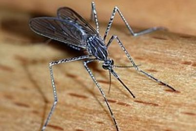 240px-Mosquito_2007-2.jpg