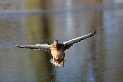 duck-3195114_1280.jpg