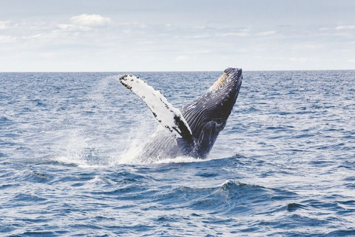 humpback-whale-1209297_960_720.jpg