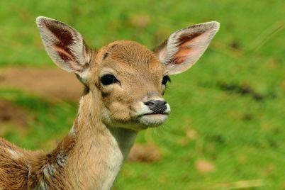 roe-deer-1586373_960_720.jpg
