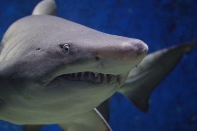 shark-674867_960_720.jpg