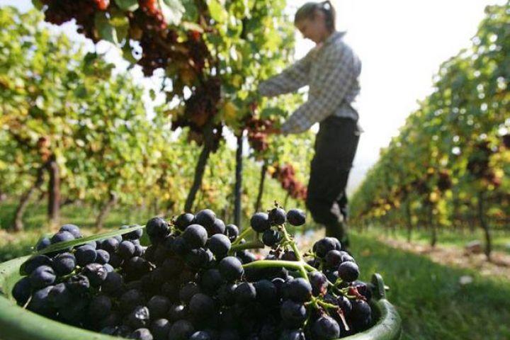 vino-grozde.jpg