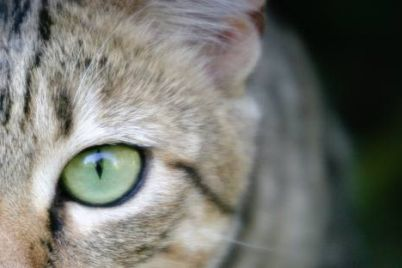 wild-cat-eye-small.jpg.480x0_q71_crop-scale.jpg