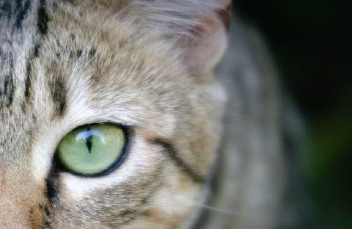 wild-cat-eye-small.jpg.480x0_q71_crop-scale.jpg